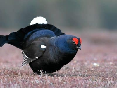 A Black Grouse standing on moorland