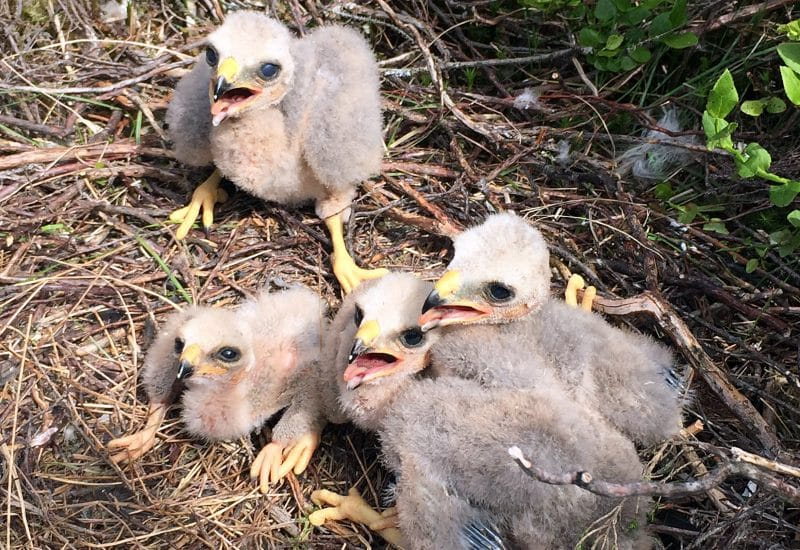 Nest of four hen harrier chicks